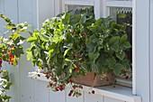 Erdbeeren 'Walderdbeere Alpen rot' (Fragaria vesca)