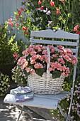 Begonia tuberhybrida (Knollenbegonien) im Korb auf Stuhl