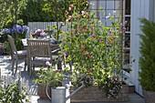 Sichtschutz : Holzkasten bepflanzt mit Lathyrus odoratus 'Apricot Sprite'