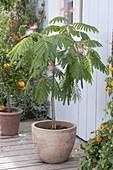 Albizia julibrissin 'Ombrella' (Seidenbaum) in Terracotta - Kübel