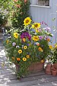 Bunte Sommerblumenmischung 'Moessinger Sommer' in Kasten säen