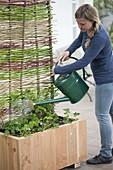 Kasten mit Brombeere und Sommerblumen bepflanzen