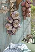 Frisch geernteter Knoblauch (Allium sativum) und Zwiebeln (Allium cepa)