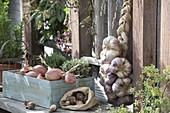 Holzkiste mit Zwiebeln (Allium cepa) und Thymian (Thymus)