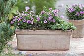 Terracotta - Kasten ausdauernd bepflanzt