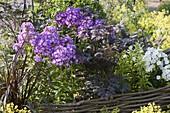 Phlox paniculata 'Uspech' (Flammenblumen) in Beet mit Einfassung
