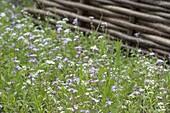 Blumenwiese 'Schönes Land' aussäen