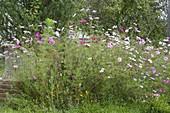 Prairiebeet mit einjaehrigen Sommerblumen anlegen
