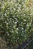 Buchweizen (Fagopyrum esculentum) blühend im Beet