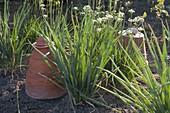 Allium fistulosum, Bunching Onion, Winterhecke, Winterzwiebel