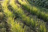 Erdmandel (Cyperus esculentus) im Wechsel mit Knolligem Sauerklee