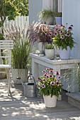 Prairie - Terrasse : Echinacea purpurea 'Conetto' (Roter Sonnenhut)