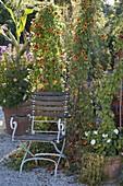 Sichtschutz auf Kiesterrasse mit Thunbergia alata (Schwarzäugiger Susanne)