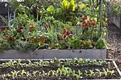 Hochbeete mit Gemüse und Kräutern