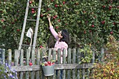 Apfelernte im Bauerngarten