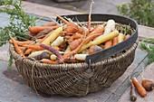 Frisch geerntete Möhren, Karotten (Daucus carota) im Korb