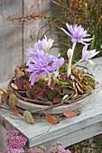 Colchicum 'Waterlily' (Herbstzeitlose) in Blaetterkranz