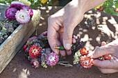 Strohblumen - Kränzchen mit Schafgarbe und Oregano