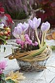 Colchicum autumnale (Herbstzeitlose), Cyclamen (Alpenveilchen) und Calluna