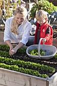 Feldsalat im Hochbeet ernten