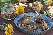 Getrocknete Blüten von Zinnia (Zinnien) für die Samenernte