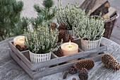 Calluna vulgaris 'Alicia' (Knospenbluehende Besenheide) in Holz-Kasten