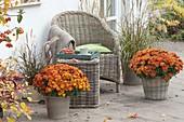 Chrysanthemum 'Kipli' vorne , 'Kiroul' hinten (Herbstchrysanthemen)