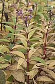 Eupatorium purpureum (Wasserdost) , Blattdufter im Herbst