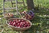 Körbe mit frisch geernteten Äpfeln (Malus) - alte Sorten