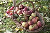 Frisch gepflueckter Apfel 'Rheinischer Winterrambour' (Malus) im Korb