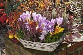 Colchicum (Herbstzeitlose), Calluna vulgaris 'Annette' und Twin-Girls