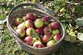 Korb mit frisch geernteten Äpfeln (Malus) - Apfelsorte 'Brettacher'