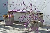 Callicarpa bodinieri 'Profusion' (Liebesperlenstrauch) mit violetten Beeren
