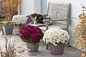 Chrysanthemum 'Elys Blanc' und 'Kilo' (Herbstchrysanthemen)