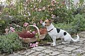 Hund Zula sitzt neben Korb mit frisch geschnittenen Rosa (Rosen)