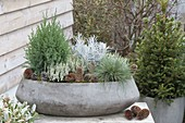 Winterhart bepflanzte Betonschale : Calluna vulgaris 'Alicia'
