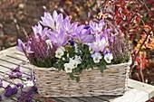Flechtkorb mit Colchicum (Herbstzeitlose), Viola cornuta (Hornveilchen)