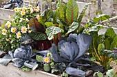 Hochbeet bepflanzt mit Rotkohl, Blaukraut (Brassica), Mangold 'Bright Lights'