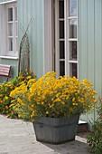 Proven Winners - Tagetes 'Gold Medal' (Studentenblume) in Holz-Kübel