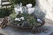 Weiss-silbern bepflanzte Schale mit Cyclamen (Alpenveilchen), Helichrysum