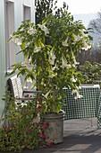 Datura (Engelstrompete) mit weissen Blüten , Pelargonium grandiflorum