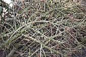 Zweige von Larix (Lärche) mit Zapfen für Floristik