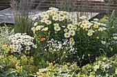 Leucanthemum superbum 'Banana Cream' 'Daisy May' (Margeriten), Achillea