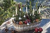 Korbkasten bepflanzt mit Picea glauca 'Conica' (Zuckerhutfichten)