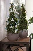 Muehlenbeckia (Drahtwein) als Pyramiden gezogen, weihnachtlich dekoriert