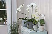 Phalaenopsis (Malayenblumen, Schmetterlingsorchideen), als Spirale