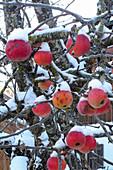 Verschneite Äpfel am Baum als Vogelfutter