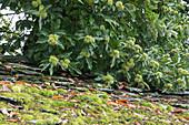 Zweige von Marone, Esskastanie mit noch unreifen Früchten