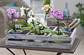Mini-Phalaenopsis (Malayenblume, Schmetterlingsorchidee) in Tassen