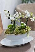 weiße Mini-Phalaenopsis (Malayenblumen , Schmettterlingsorchideen)